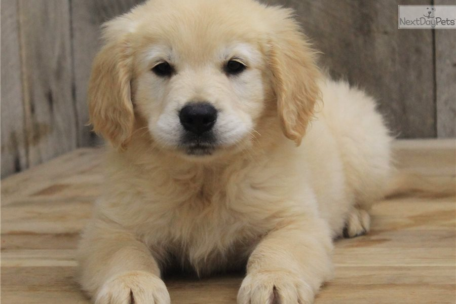 Golden Retriever Puppy For Sale Near Jonesboro Arkansas D9dc3705 1391