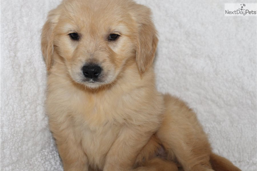 Linsey Golden Retriever Puppy For Sale Near Jonesboro Arkansas