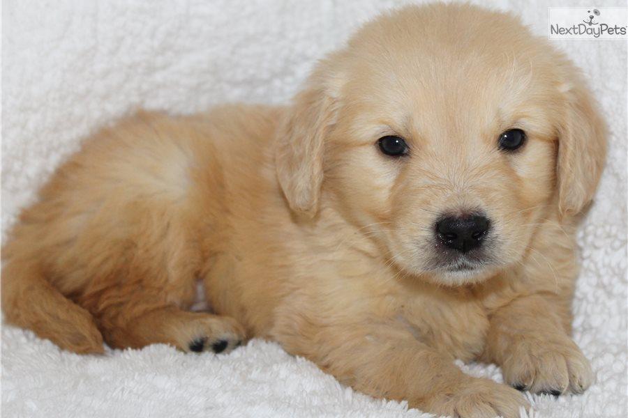 Rusty Golden Retriever Puppy For Sale Near Jonesboro Arkansas