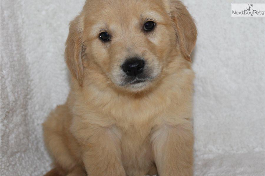 Kelsey Golden Retriever Puppy For Sale Near Jonesboro Arkansas