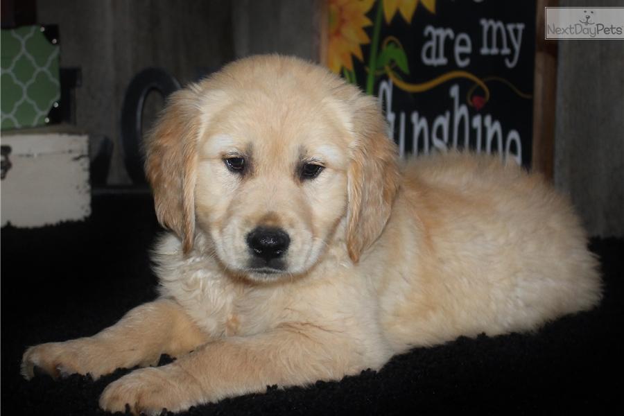 Ranger Golden Retriever Puppy For Sale Near Jonesboro Arkansas