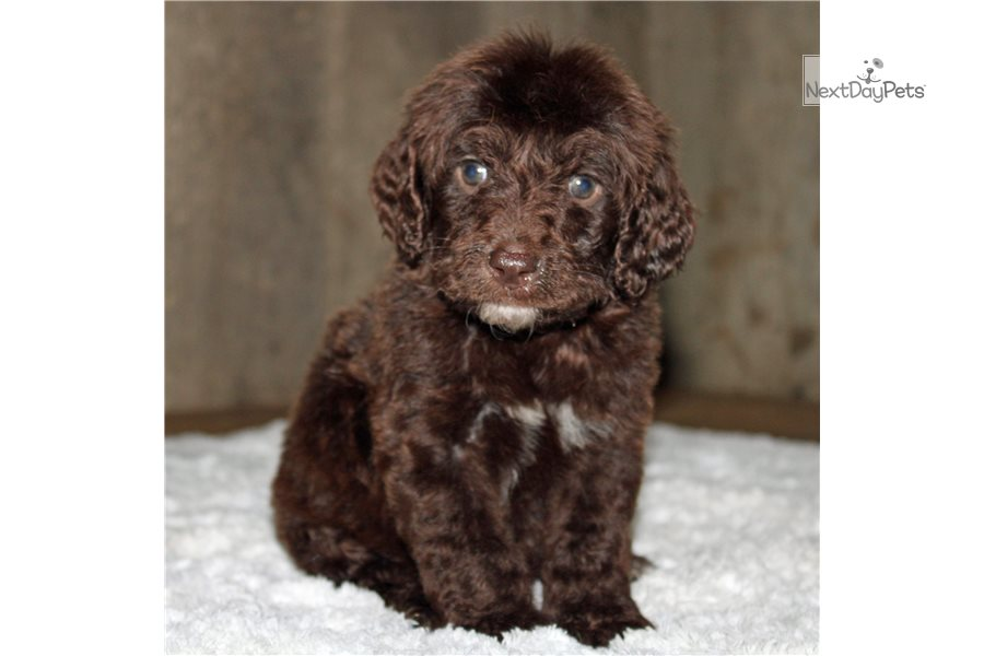 Picture of a Springerdoodle