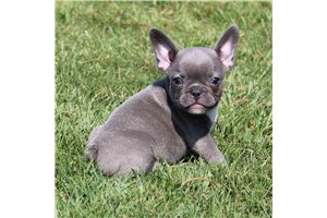 Jake - French Bulldog for sale