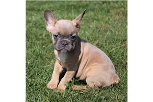 Colt - French Bulldog for sale