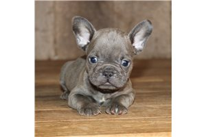 Max - French Bulldog for sale