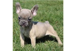 Katie - French Bulldog for sale