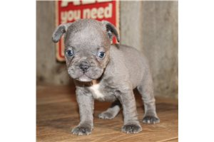 Holly - French Bulldog for sale