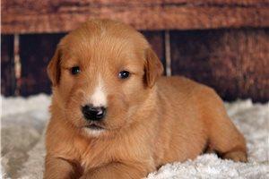 Abby  - Golden Retriever for sale