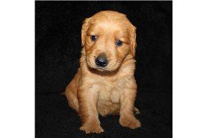 Marshal - Golden Retriever for sale
