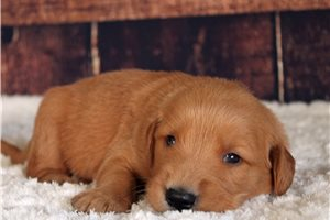 Rusty - Golden Retriever for sale