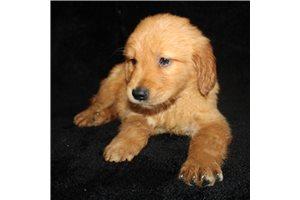 Tripp - Golden Retriever for sale