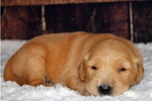 Barney - Golden Retriever for sale