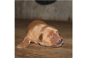 Trixie  - Golden Retriever for sale
