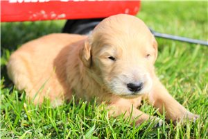 Buddy | Puppy at 5 weeks of age for sale