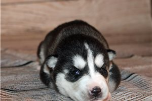Chase  - Siberian Husky for sale