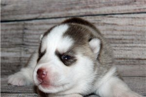 Sarge - Siberian Husky for sale