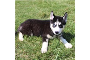 Rose  - Siberian Husky for sale