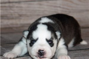 Katie  - Siberian Husky for sale