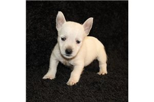 West Highland White Terrier Westies for sale
