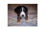 Picture of AKC Entlebucher