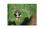 Picture of Entlebucher Mix