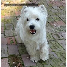View full profile for Strawberry River Westies