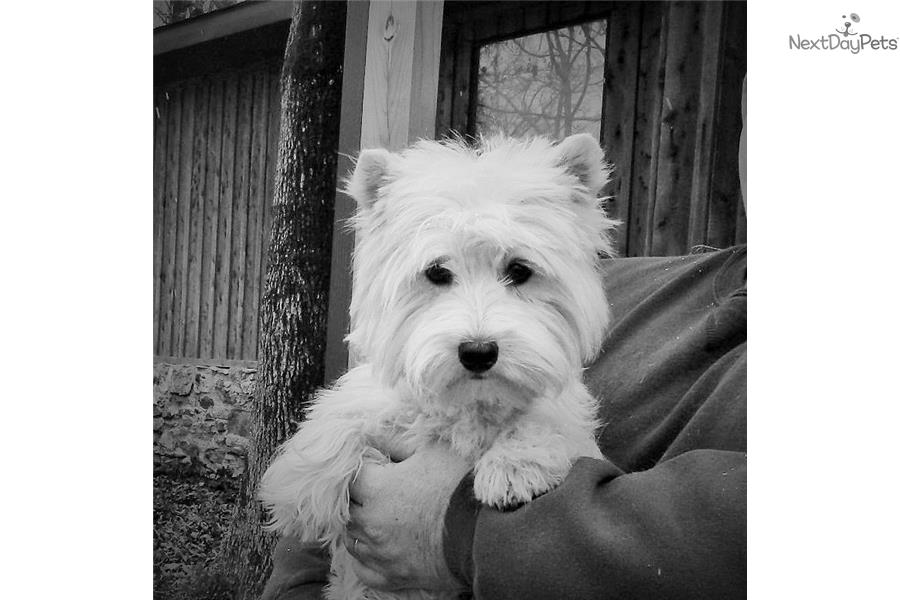west highland terrier for sale near me west highland white terrier westie puppy for sale near 3435