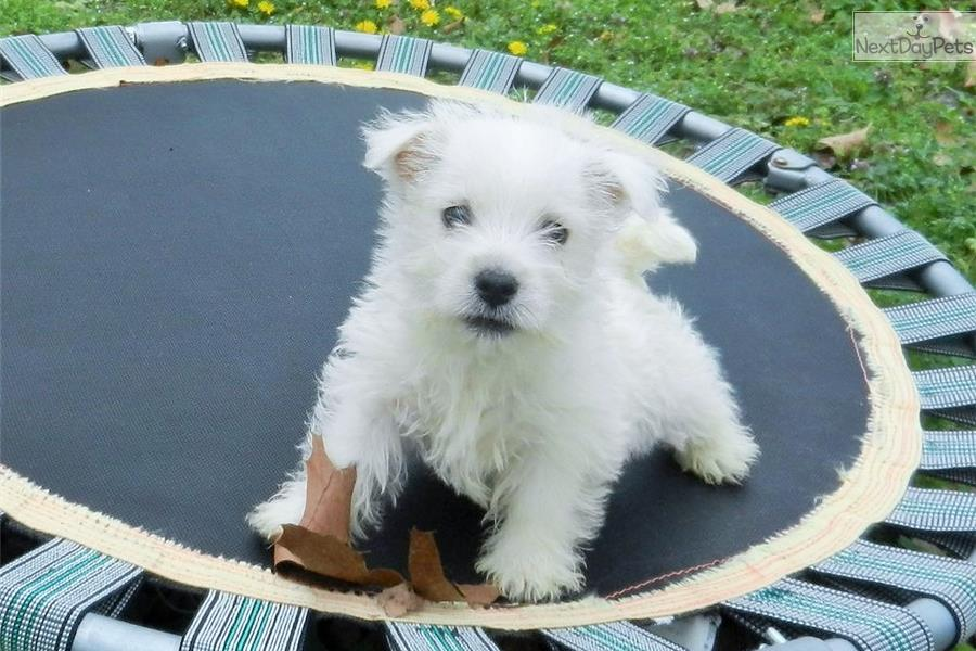 west highland terrier for sale near me west highland white terrier westie puppy for sale near 9449