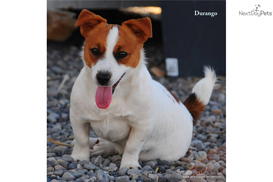 shorty jack russell terrier puppies for sale from colorado shorty jacks member since 3026