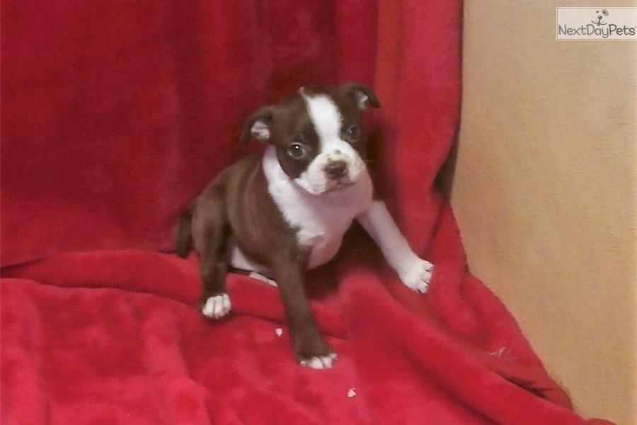 Red Girl Boston Terrier Puppy For Sale Near Grand Island Nebraska