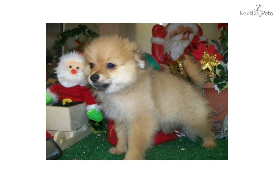 pomeranian chicago meet puppy a cute pomeranian puppy for sale for 500 2840