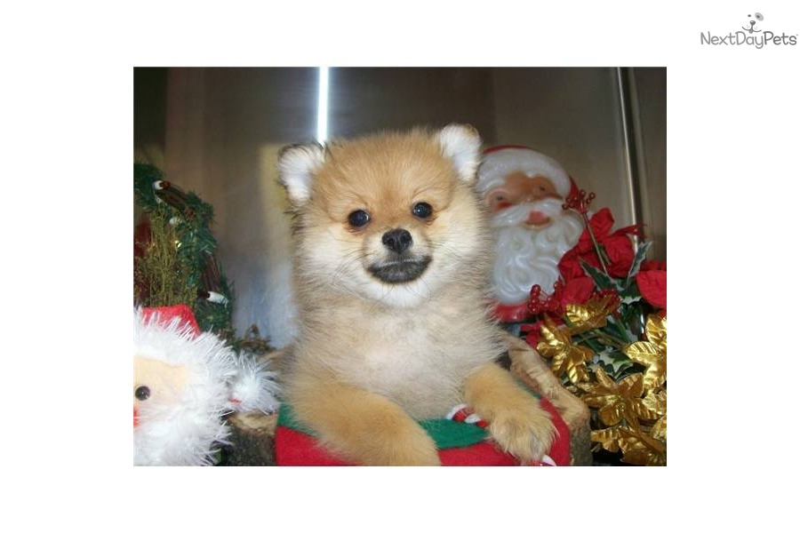 pomeranian puppy chicago meet puppy a cute pomeranian puppy for sale for 500 6555