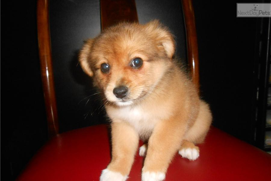 pomeranian chicago meet pom mix a cute mixed other puppy for sale for 250 467