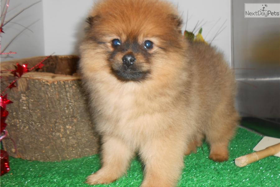 pomeranian puppy chicago pomeranian puppy for sale near chicago illinois 1654