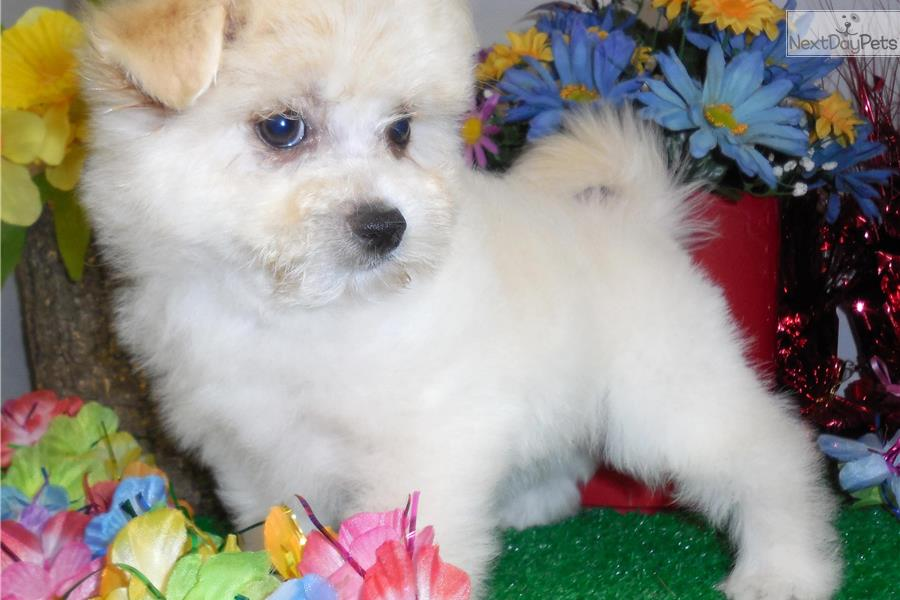 pomeranian puppies for sale in illinois pomeranian puppy for sale near chicago illinois 2568