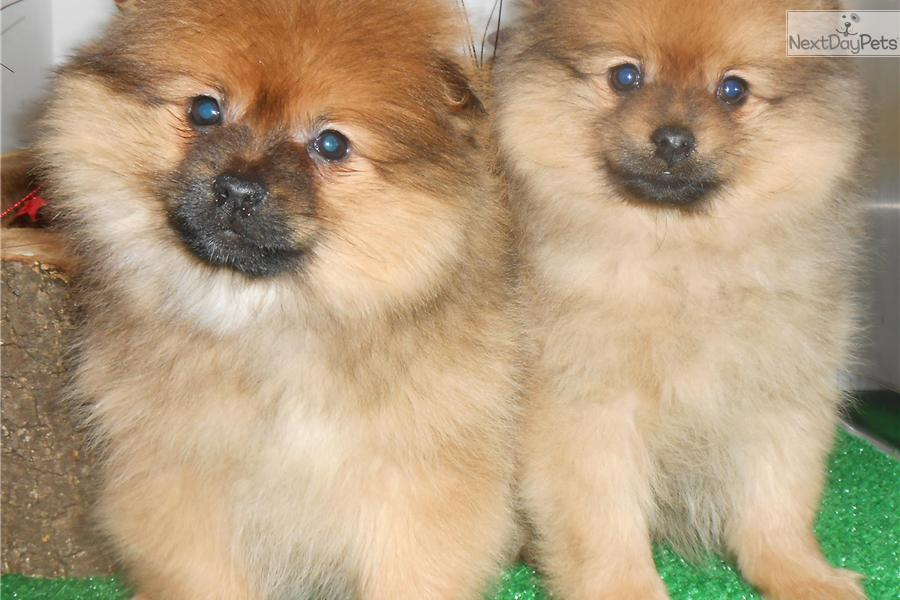 pomeranian puppies for sale in illinois pomeranian puppy for sale near chicago illinois 808