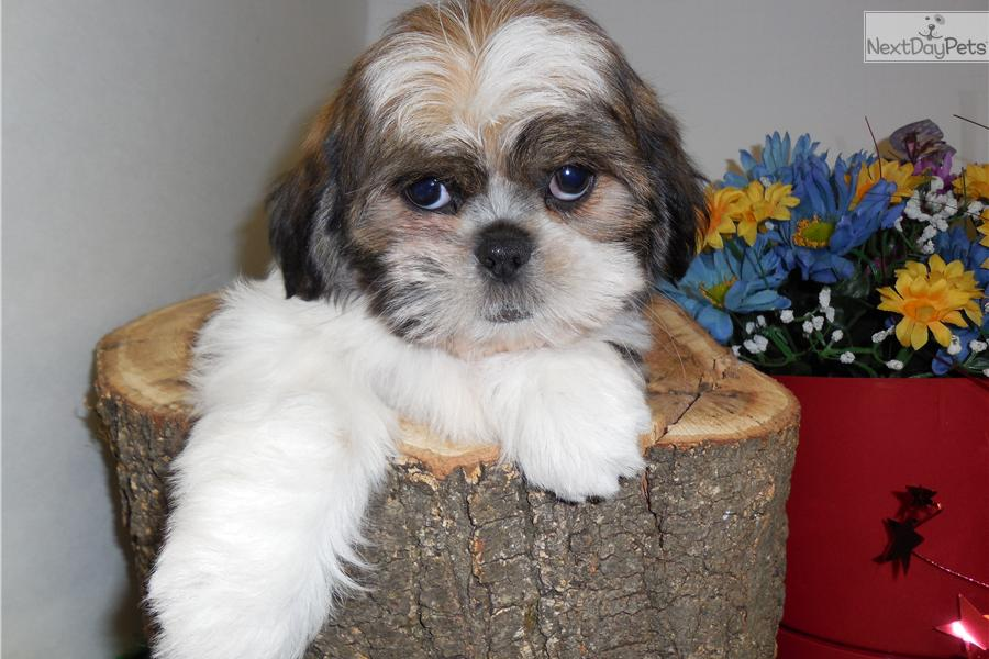 shih tzu for sale chicago shih tzu puppy for sale near chicago illinois e51ed360 ca01 3252
