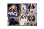 Featured Breeder of Cocker Spaniels with Puppies For Sale