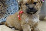 Adorable Morkie by Hearthside Meadows | Puppy at 7 weeks of age for sale
