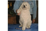 Picture of Mattiaci Kuvasz Fall Planned Litter