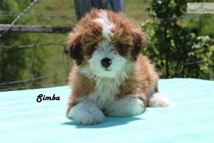 Aussiedoodle Puppy For Sale Near Jackson Tennessee 3c28cb15 1641