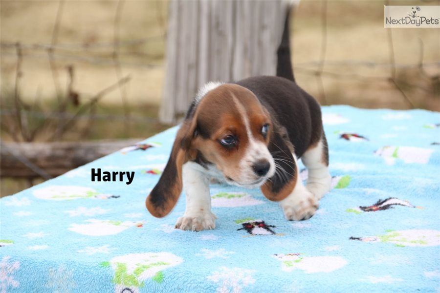 Beagle Puppy For Sale Near Jackson Tennessee Aa4d8a6d