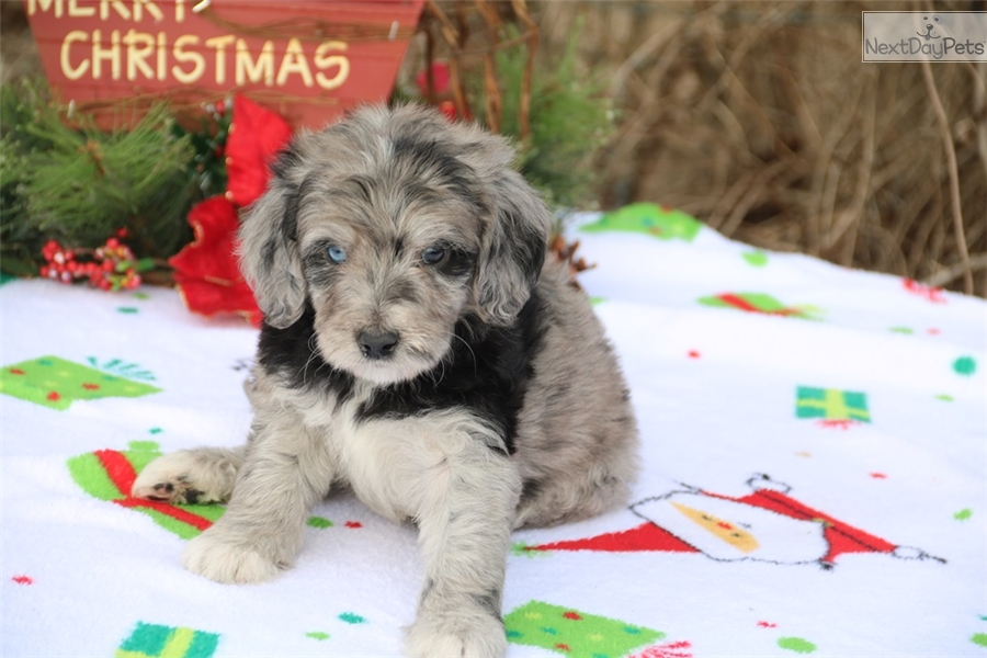 Labradoodle Puppy For Sale Near Jackson Tennessee