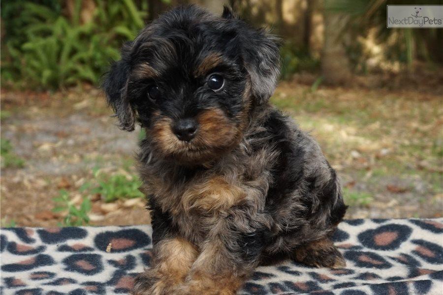 Malti Poo - Maltipoo puppy for sale near Memphis ...