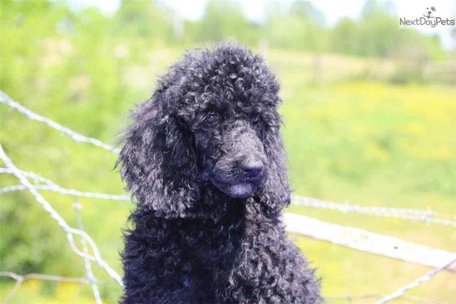 Mandy Poodle Standard Puppy For Sale Near Jackson