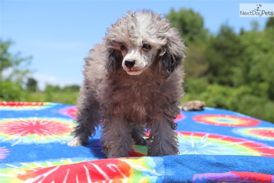 Poodle Toy Puppy For Sale Near Memphis Tennessee