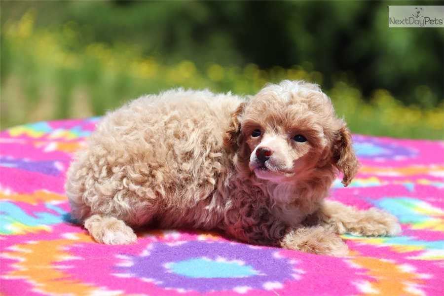 Poodle Toy Puppy For Sale Near Jackson Tennessee