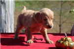 Picture of CHASITY English Goldendoodle APRICOT ReadySoon