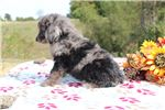 Picture of Midas Handsome Blue Merle Phantom doodle SOON