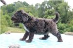 Picture of Baldwin Blue Merle F1 Standard Aussiedoodle SOON